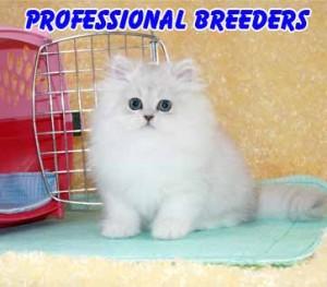 professional cat breeders