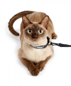 Cat in Collar on Leash